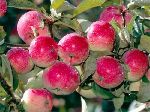 Яблоня медовое описание сорта фото отзывы